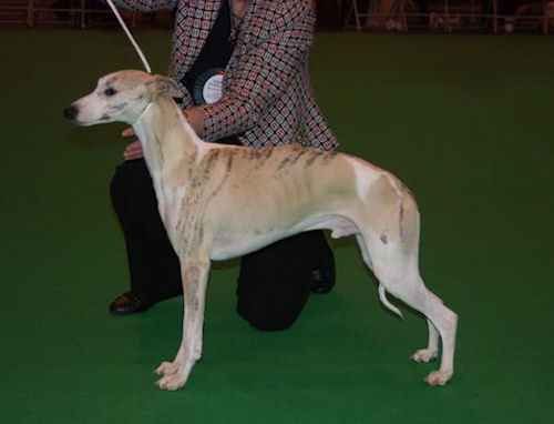 crufts-2009-crufts-2009-best-puppy-whippets.jpg